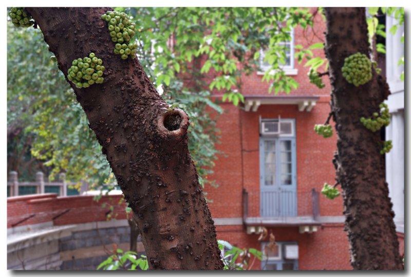 fig tree 1.jpg