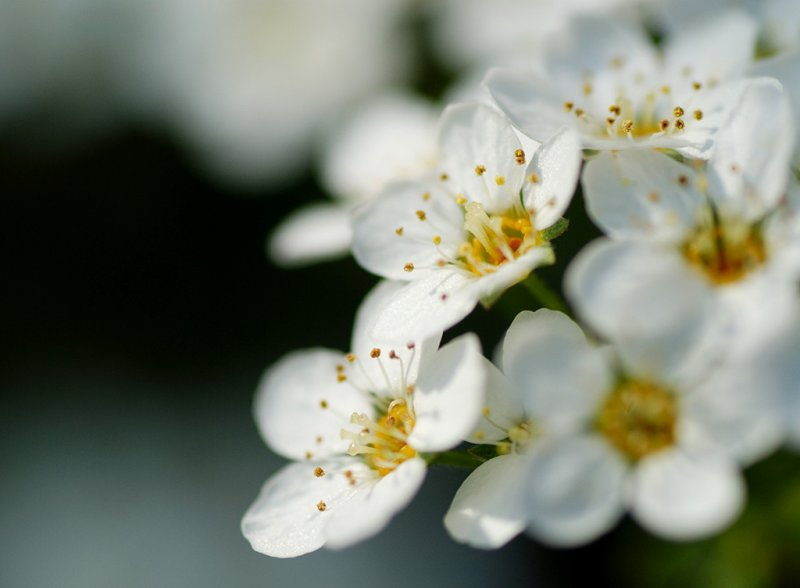 Prunus domestica ssp. insititia