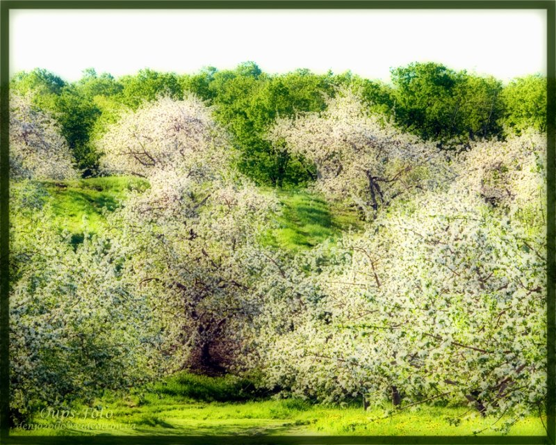 May,  month of apple tree flowers