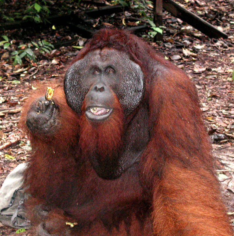 Kosasi king of Orang Utans