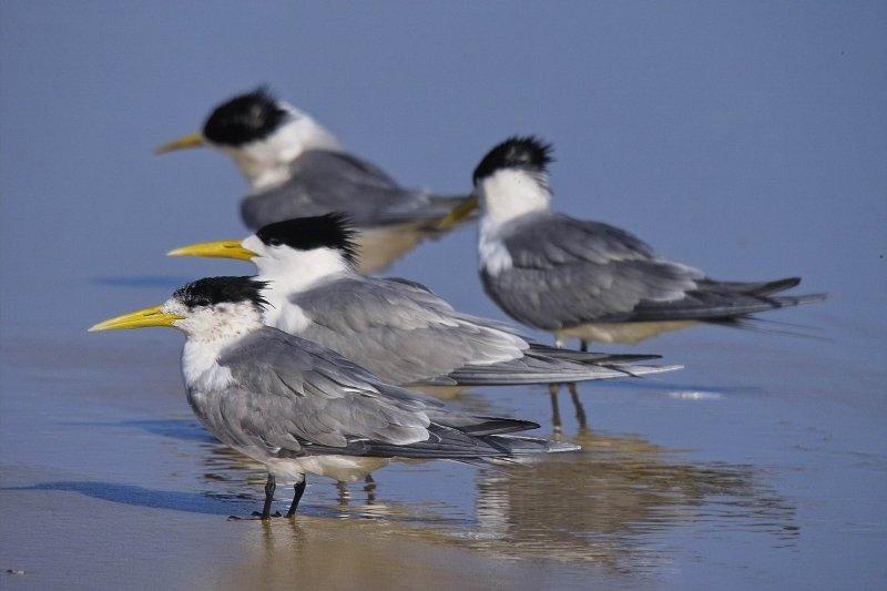 Crested Terns - Fraser Island