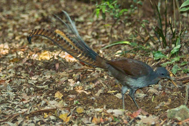 Lyre Bird - Washpool National Park
