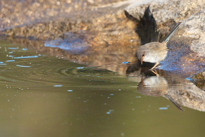 Wren Reflection