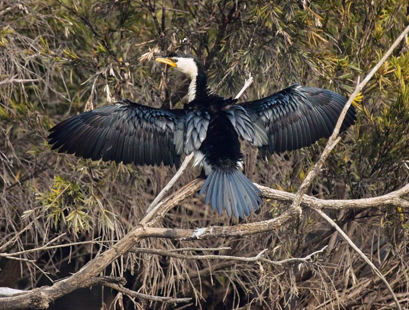 Little Pied Cormorant Drying Wings