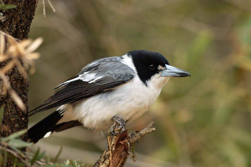 Grey Butcher Bird