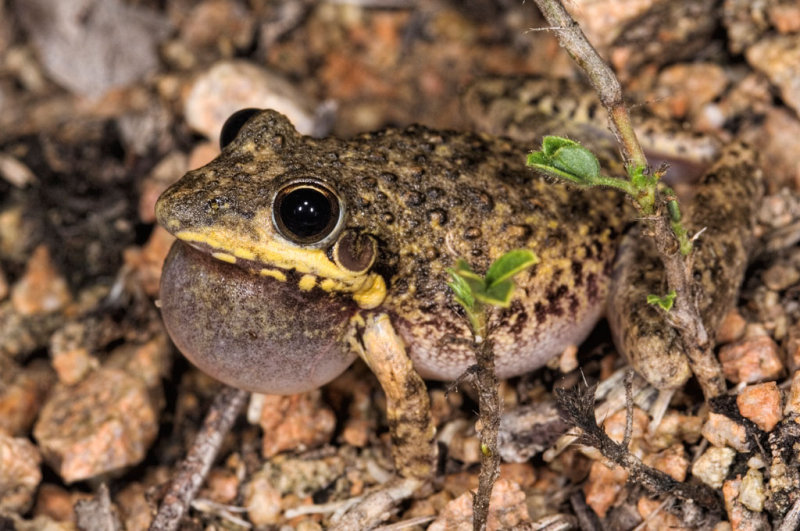 Bumpy rocketfrog, <i>Litoria inermis</i> DSC_7733