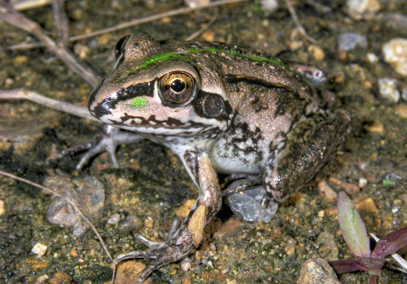 Striped burrowing frog <i>Cyclorana alboguttata</i> metamorph IMGP4201