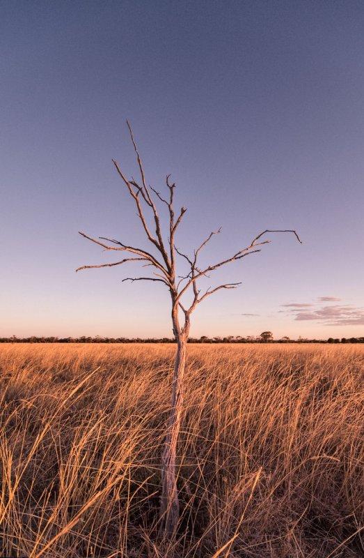 Dead gidgee tree and mitchell grass, Moorinya National Park DSC_8825