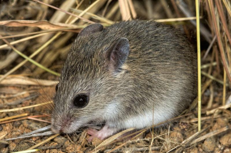 Short-tailed mouse, <i>Leggadina lakedownensis</i>, Moorinya National Park DSC_8732