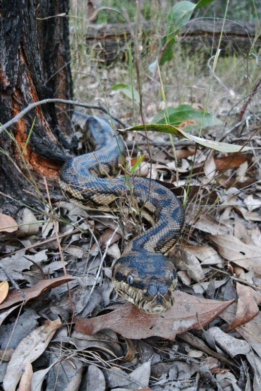 Carpet python, <i>Morelia spilota</i>, advancing towards camera