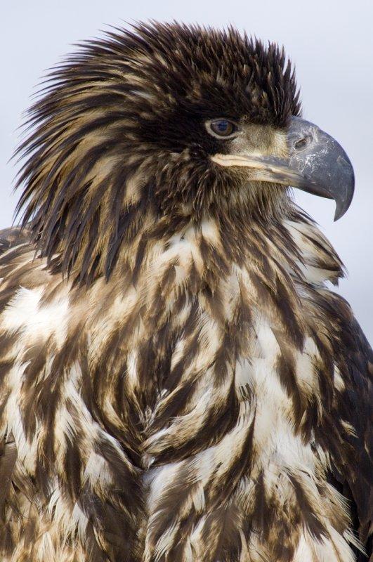 Bald Eagle Juv. 5537