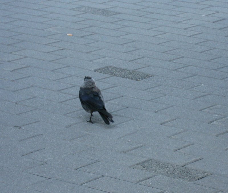 Jackdaw and a cigarette..