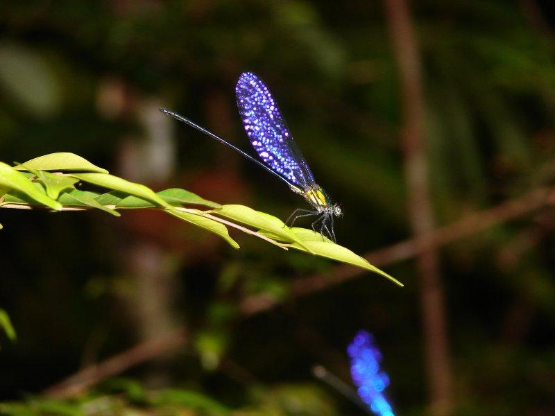 Maiden Fly