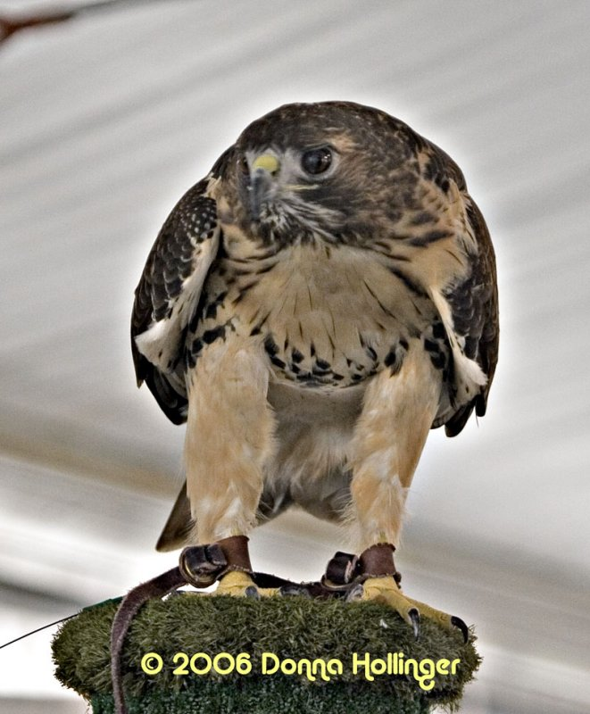 Red Tail Hawk with an eagle eye