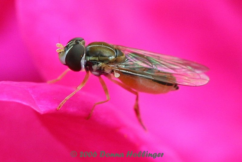 Irridescent wings of the hoverfly