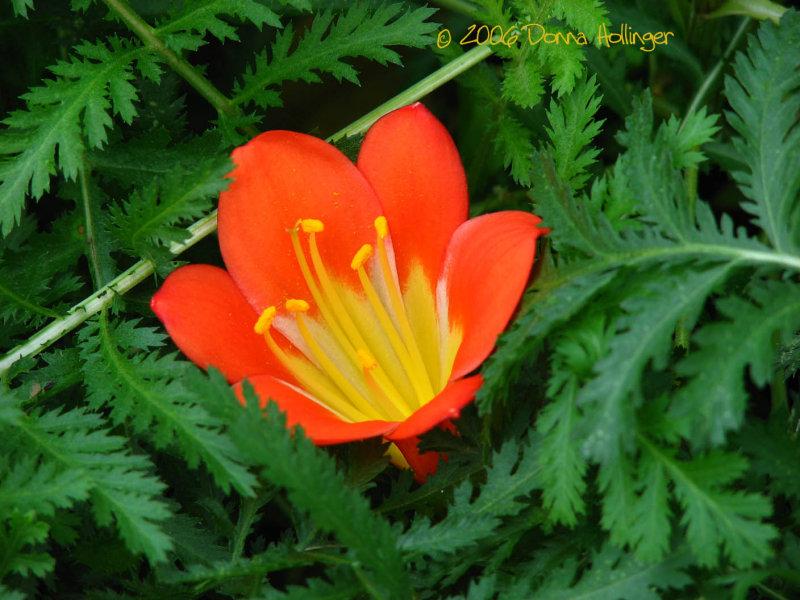 Clivia Bloom