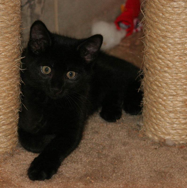 Coal Black Kitty