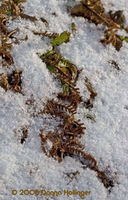 Fern and Snow
