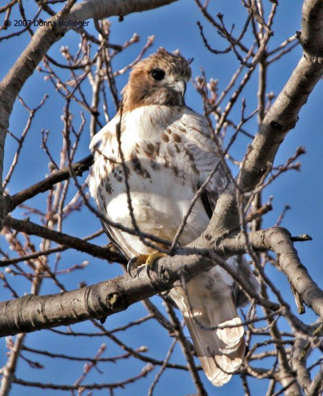 Red Tail Hawk at Mount Auburn