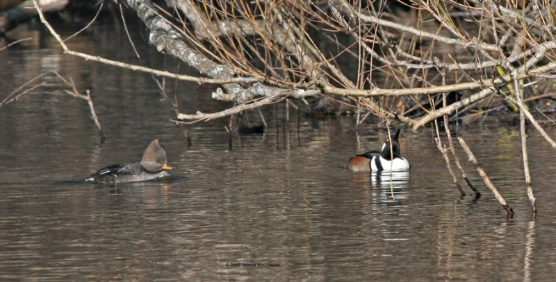 Immature and mature Hooded Mergansers