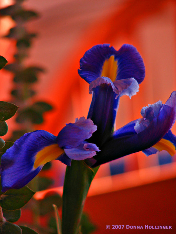 Iris in the afternoon