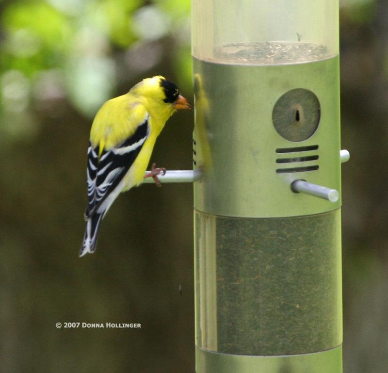 Gold Finch Male