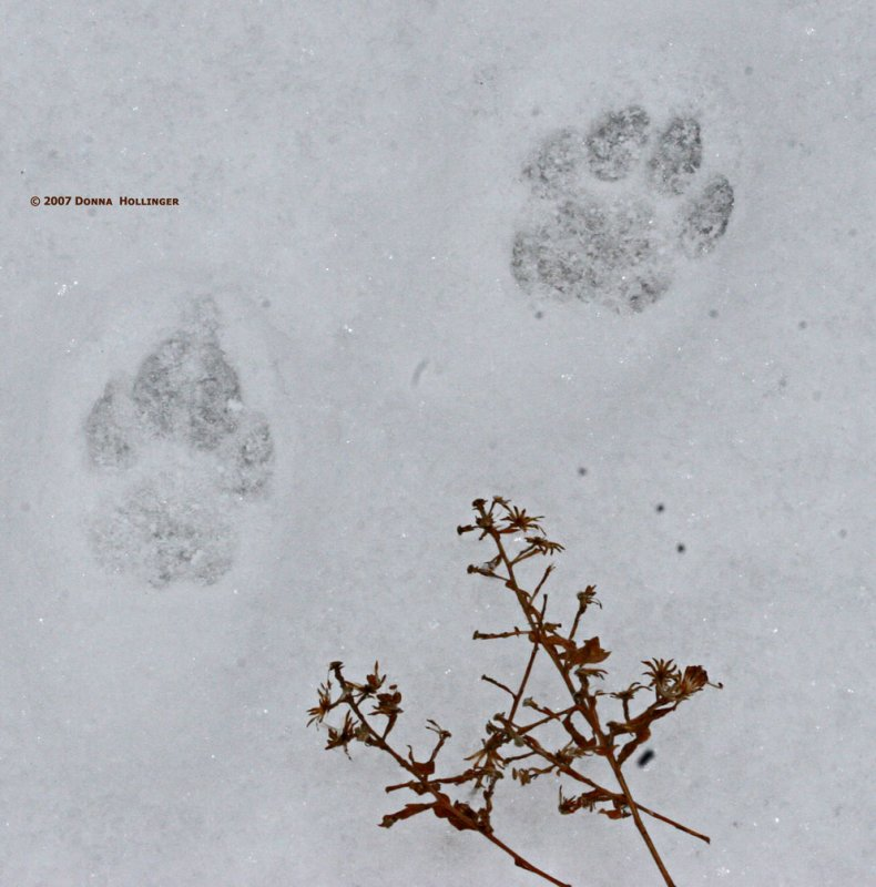 Cat Tracks, Front and back paw