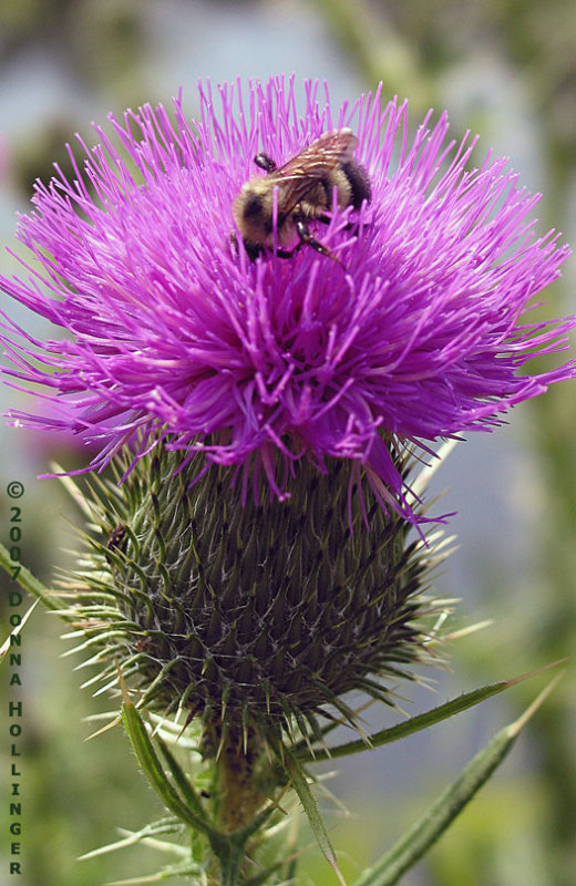Thistle enveloping the bee