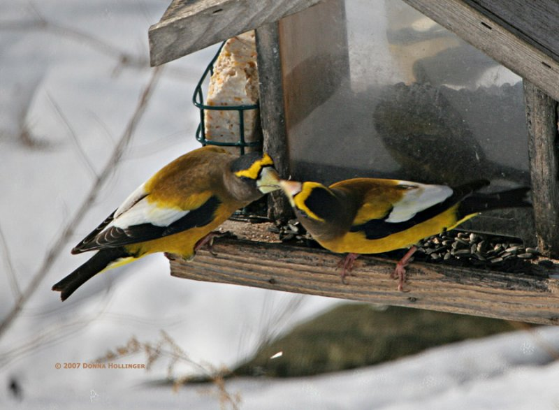Two male Evening Grosbeaks feeding each other