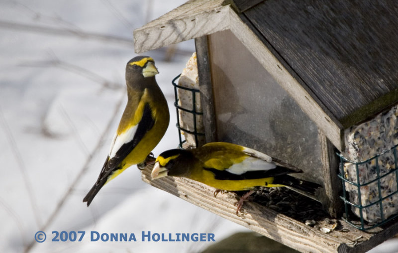 Two Evening GrosBeaks feeding