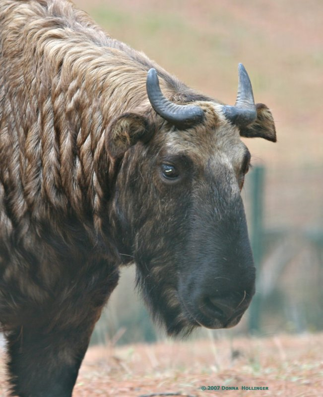 Takin is the national animal of Bhutan
