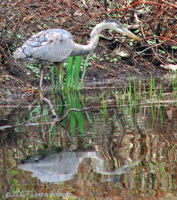 Sneaky Heron trying to catch a frog