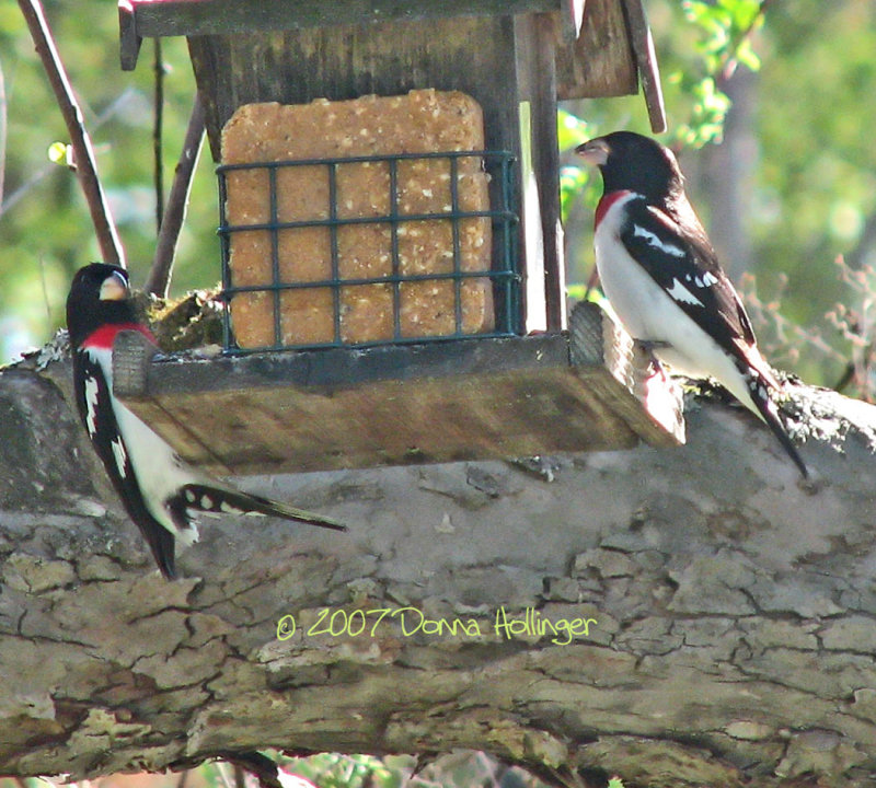 Two Male Red Breasted Grosbeaks