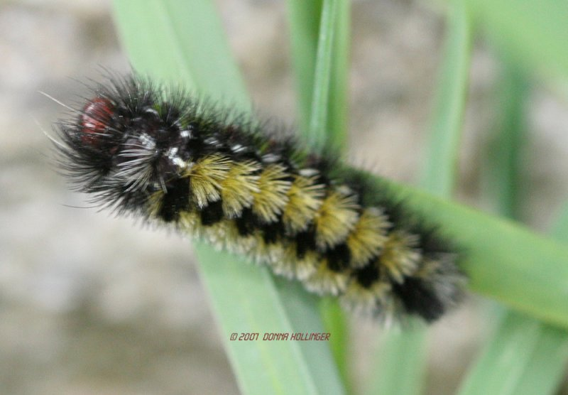Tussocked Caterpillar of Ctenucha Virginia