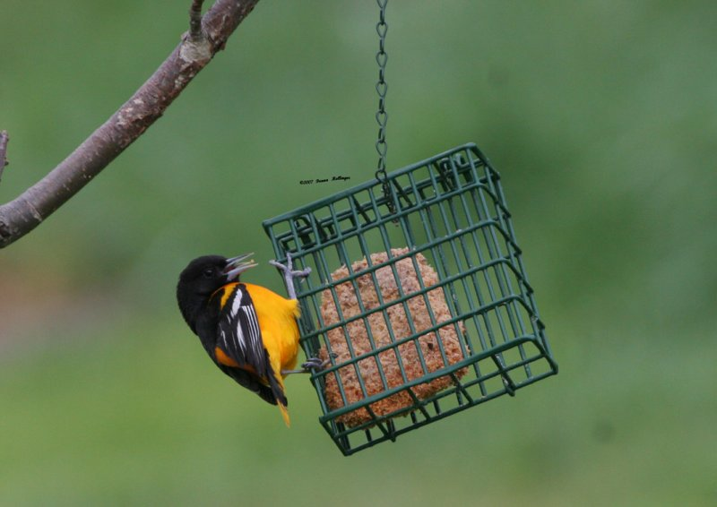 Oriole with suet on his tongue