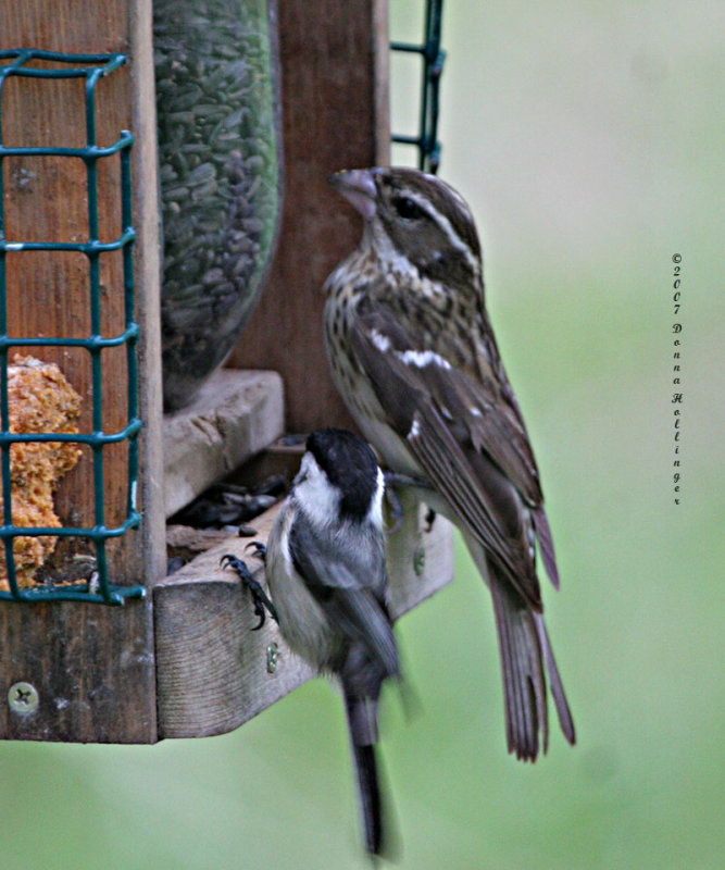 Size Difference between Chicadee and Female Grosbeak