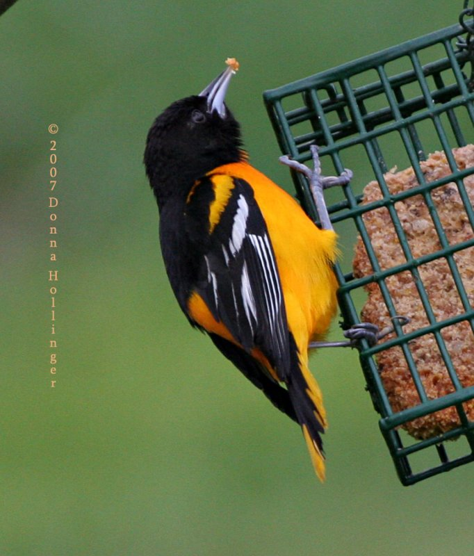 Baltimore Oriole on the suet feeder
