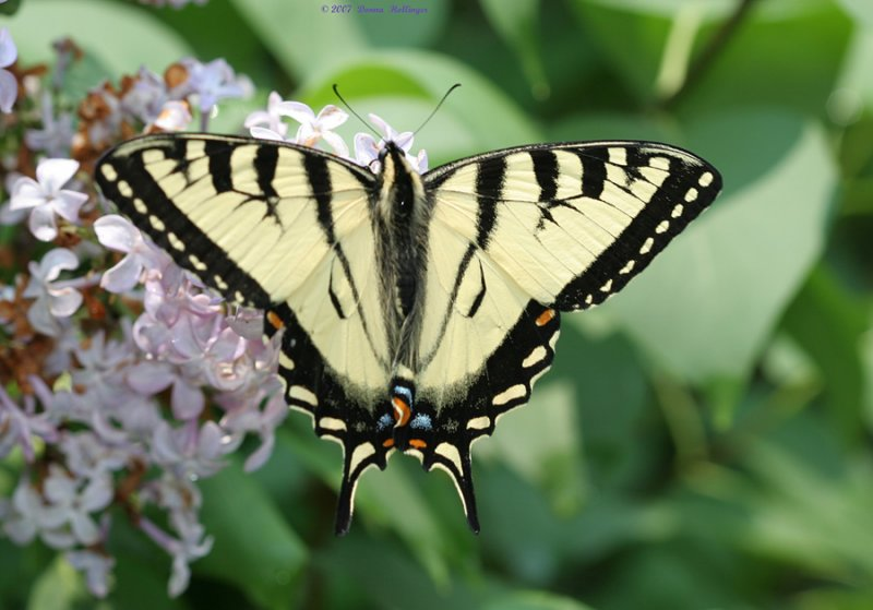 Eastern Tiger Swallowtail on Lilac