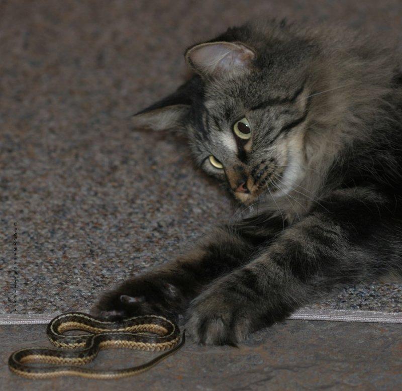 Kitty Mica killing a garter snake