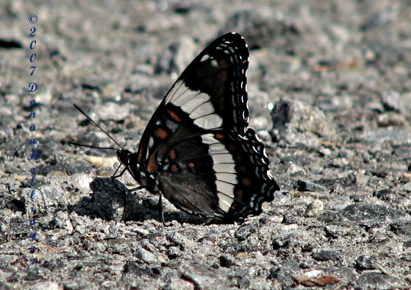 Intergrade between Red Spotted Purple