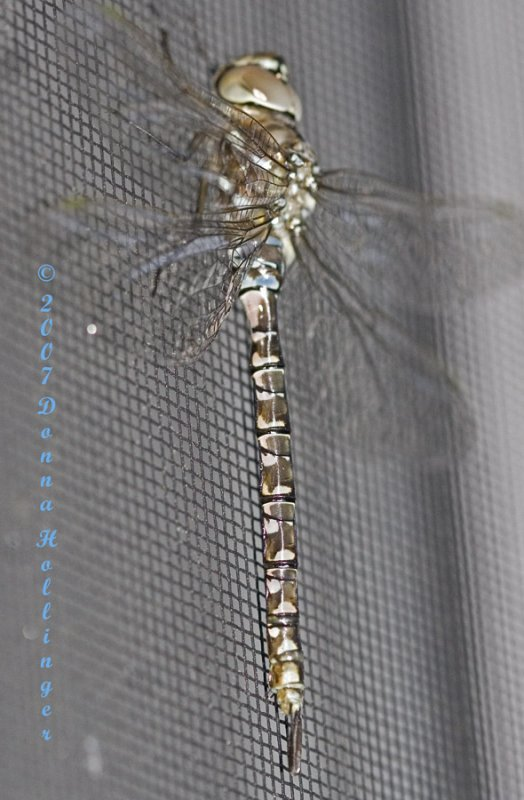 Dragonfly on my Screen door