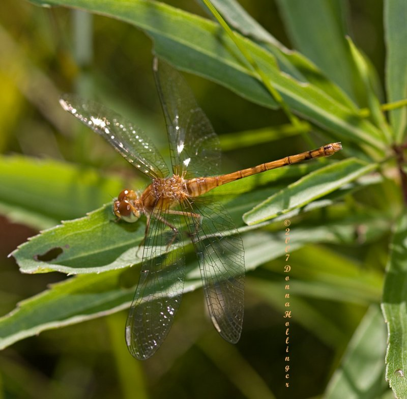 Little Dragonfly   ( Pantala flavescens)