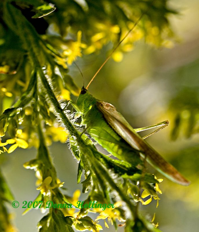 Katydid on St. Johns Wort