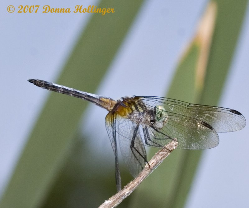Blue Eyed Dasher