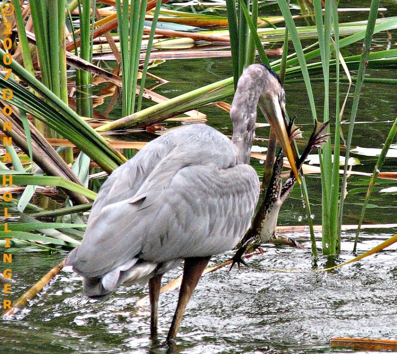 Great Blue Heron catching a frog!