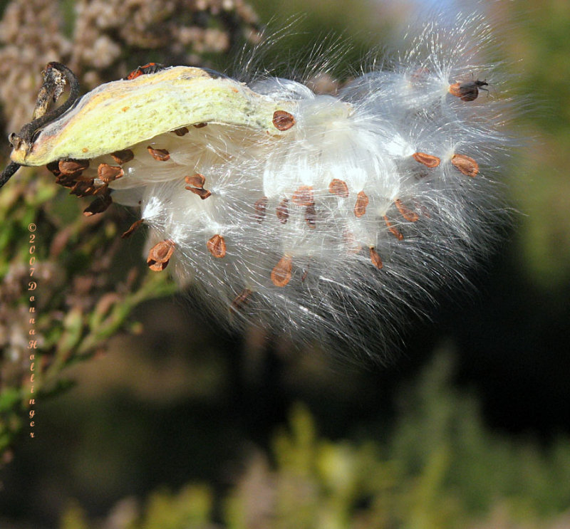 Milkweed Seeds in the Wind II