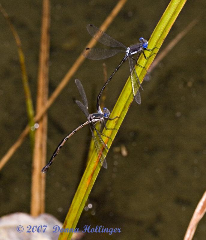 Spreadwings Mating