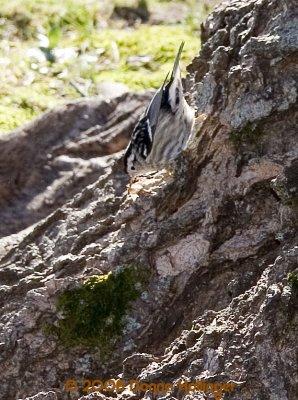 Black and White warbler sucking up moths
