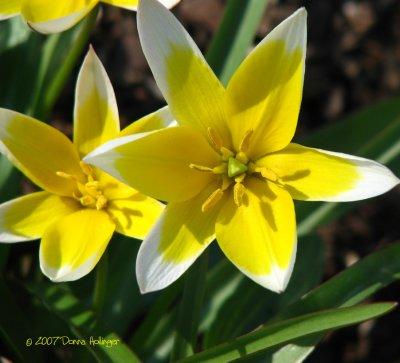 Tulipa Tarda ( Daystemon)