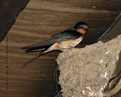 Mother swallow at the nest